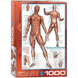 Puzzle 1000 pièces - Le système musculaire